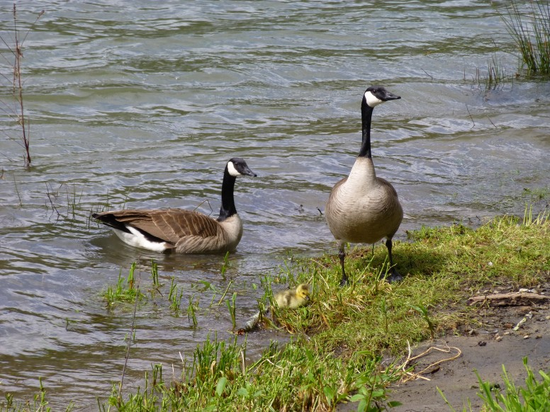 Take a gander at these Geese.