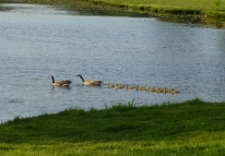Geese family crossing the marsh