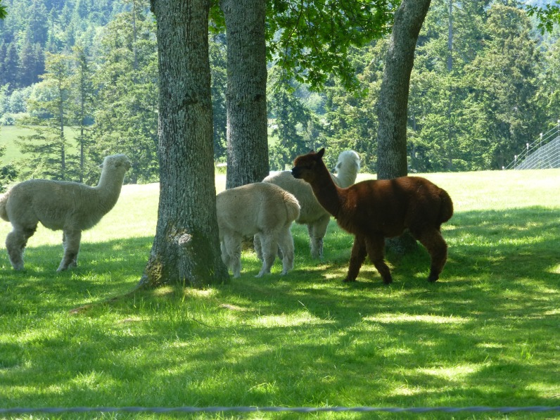 Lots of alpacas at this farm