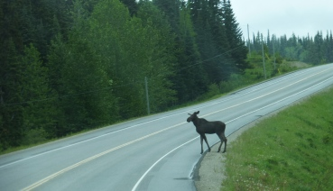 Moose crossing the highway