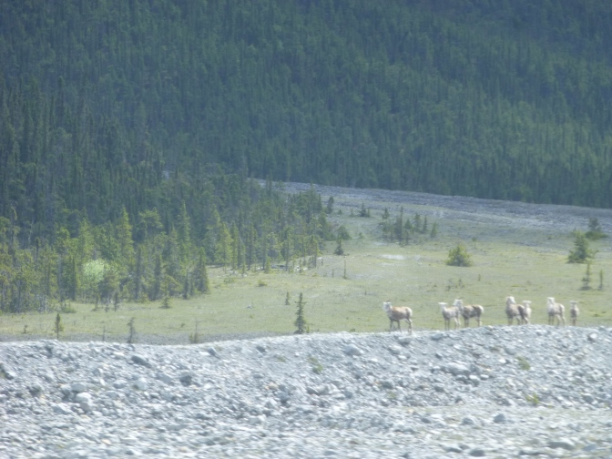 Herd of Stone Sheep