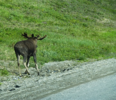 Moose scampered away