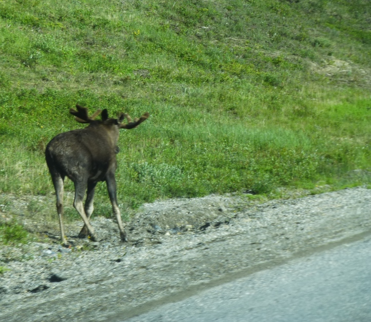 Moose scampered away