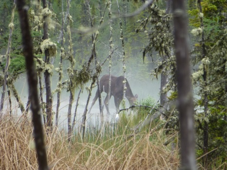 Moose at Liard Hot Springs