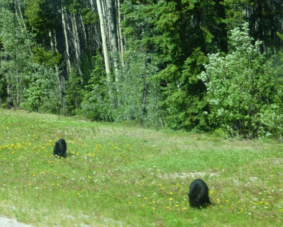 Grazing Bears unmindful of tourists