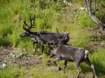 Did you know that Reindeer and Caribou are the same animal? They are considered to be reindeer only if they are domesticated. And of course, reindeer can fly!