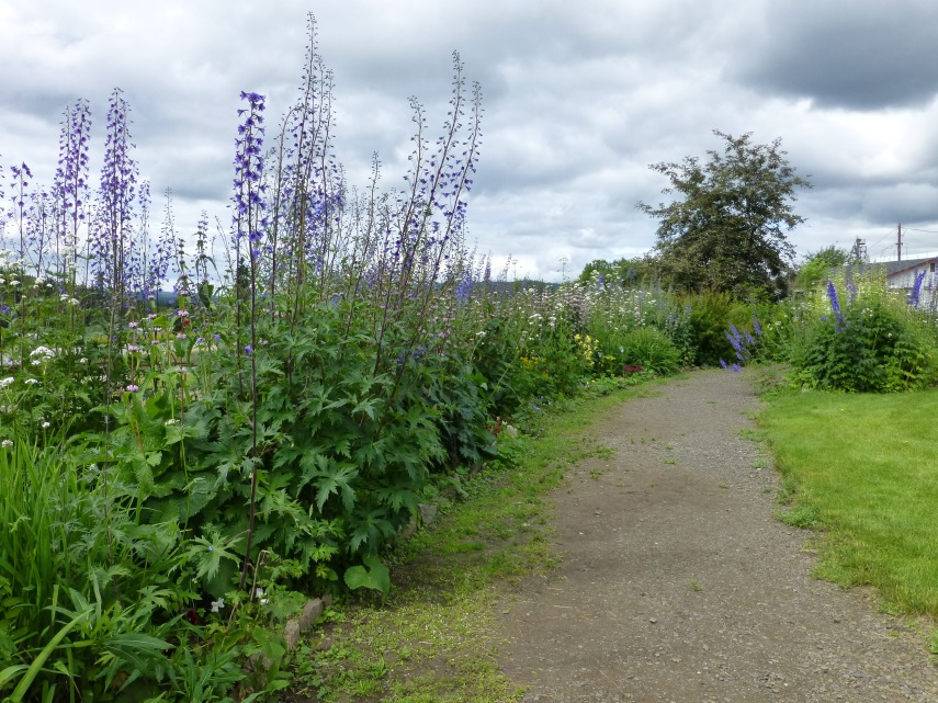 Giant Lupines