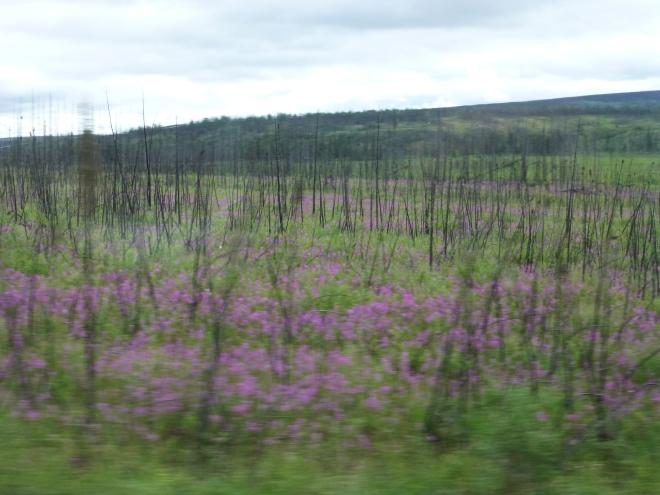 Fireweed blooming along Dalton Highway