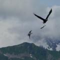 Sea Gull and BaldEagle