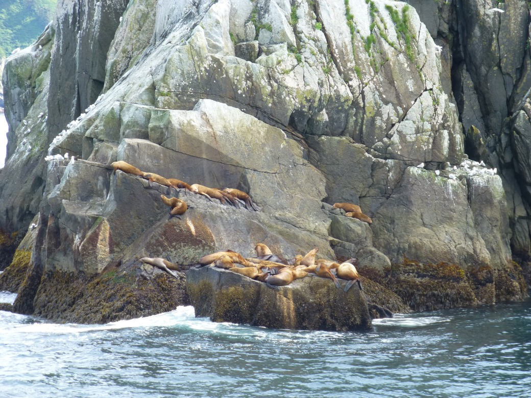 Steller Seal lions