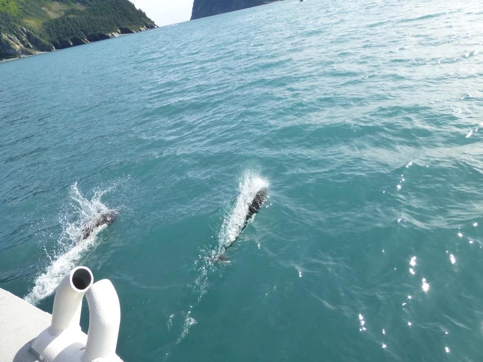 Dall Porpoises