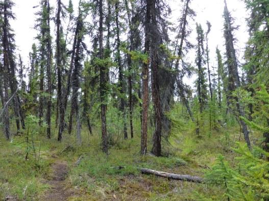 Black Spruce Taiga