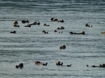 Otters in Alaska