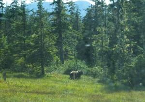Wild Blueberries for the picking Alaska