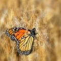 MonarchButterfly2
