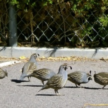 Quail Birds