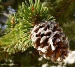 Bristle Cone