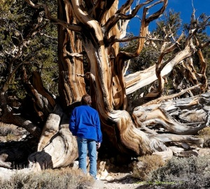 Eroded Ancient Bristlecone Pine Tree