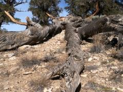 Fallen Dead Bristlecone Pine Tree