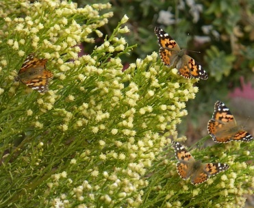 Swarms of Butterflies