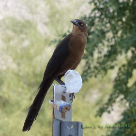 Female Great -tailed Grackle