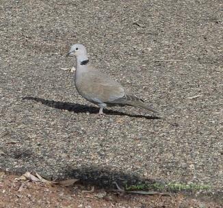 Eurasian Collard Dove