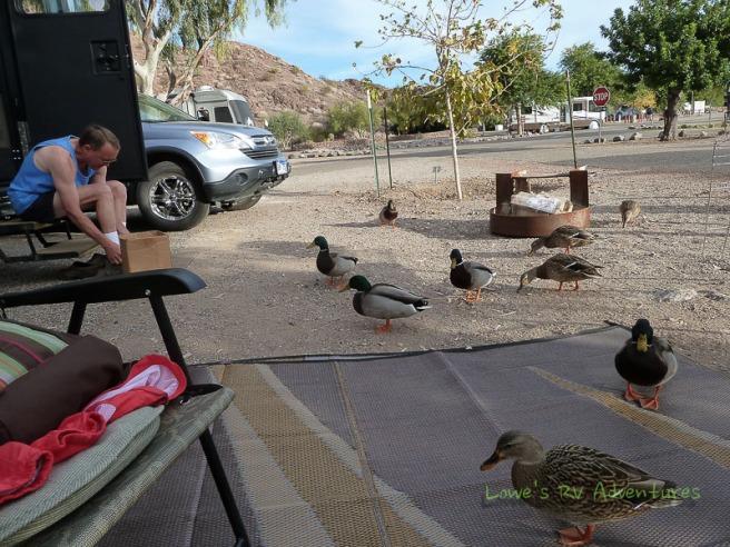 Ducks and Mallards