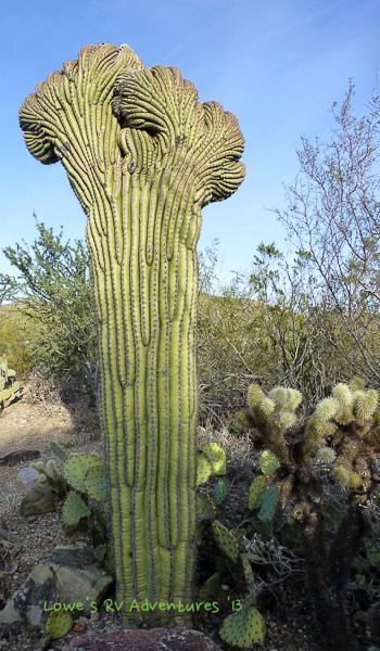 Young Saguaro