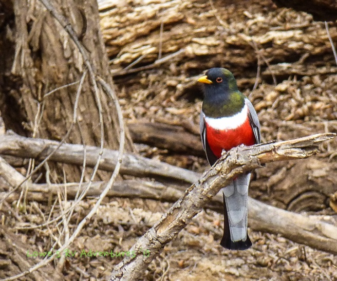 Male Elegant Trogon
