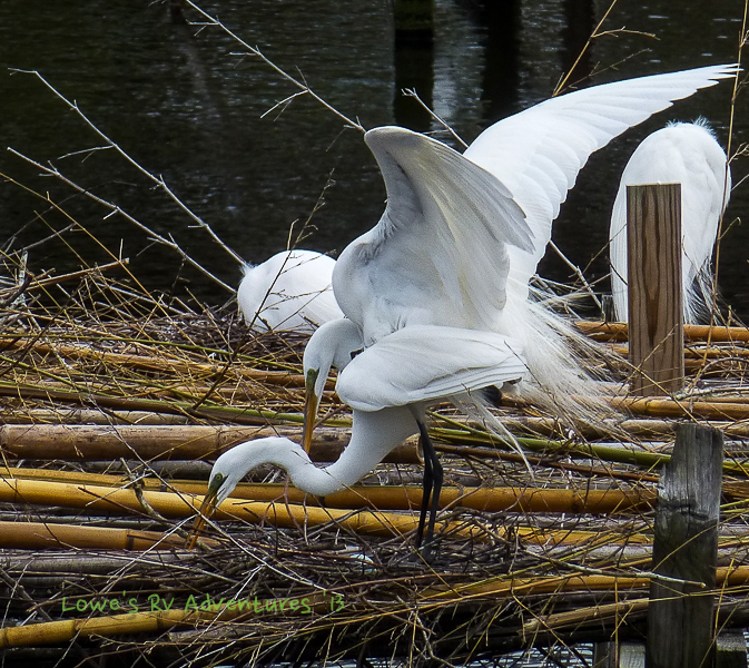 Mating Snowy Egrets