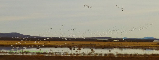 Snow Geese, White Water Draw
