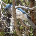 Mexican Blue Jay
