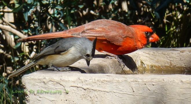 Cardinal and Tufted Titmouse