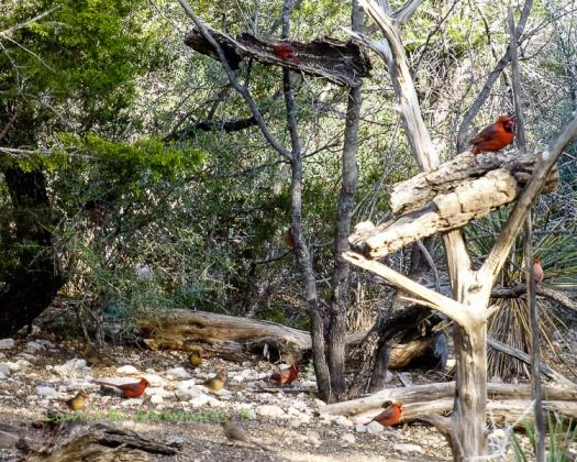 Cardinals at play