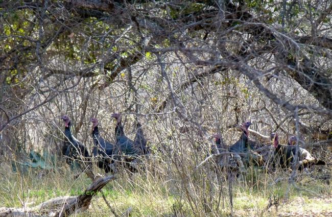 Rio Grande Turkey