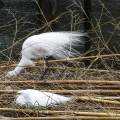 Egret developing aigrettes.