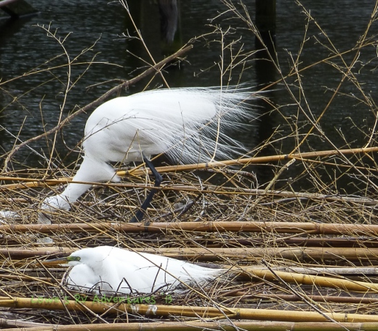 Egret developing aigrettes.