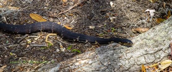 Western Green Water Snake