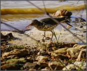 Spotted Sandpiper