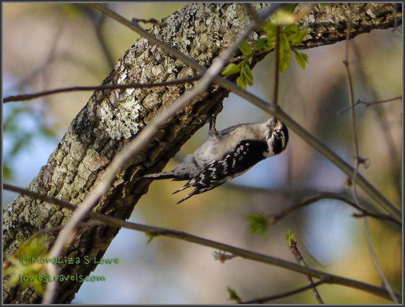 Wild Downy Woodpecker