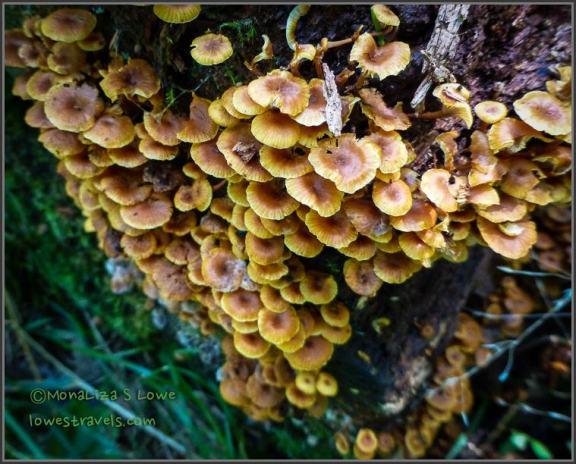 Turkey Fungi