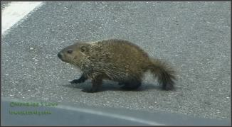 Porcupine crossing