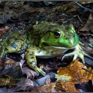 Prince Frog