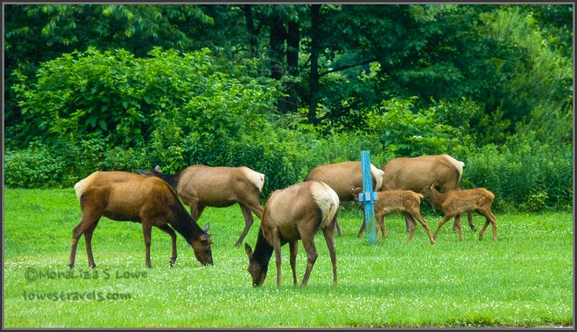 Grazing Elk in Elk Country, PA