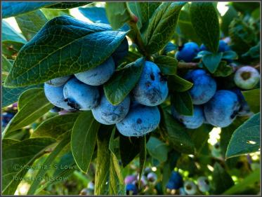 Blueberries don't get any better than this!