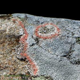 Pink lichens