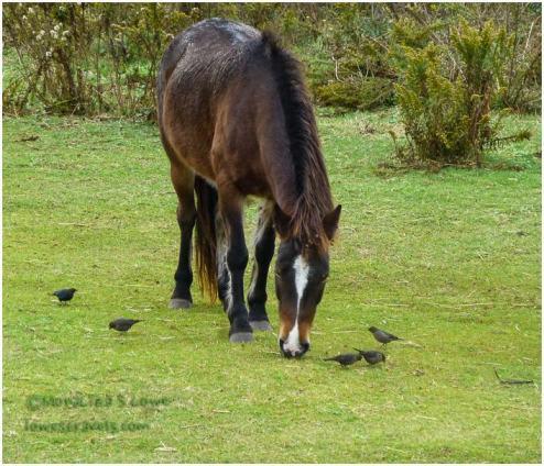 Ocracoke Pony