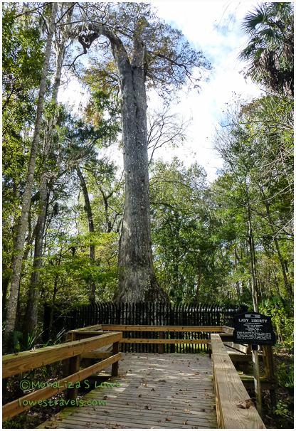 Lady Liberty Cypress Tree