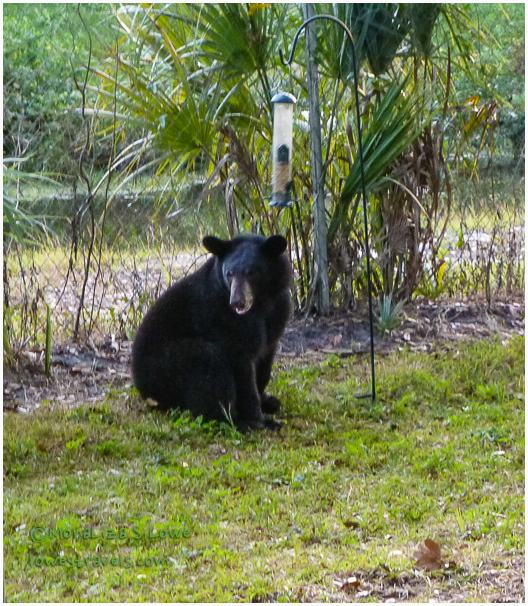 Black Bear in Florida