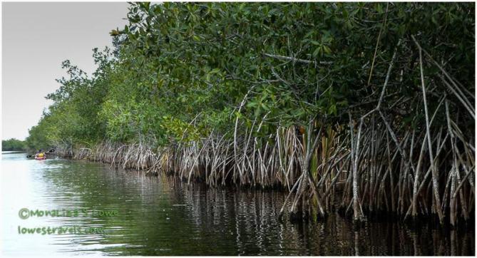 Mangrove Tress